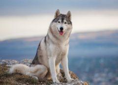 Tiêu chí chọn mua chó Husky trưởng thành
