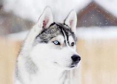 Đâu là địa chỉ mua chó Husky Siberian tốt nhất?
